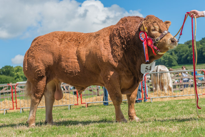 Interbreed Beef Champion Limousin Bull from Redpathe Farms