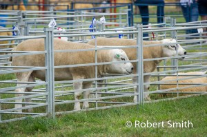 Sheep Judging (2)
