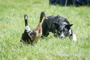 Sheep dogs and ducks-10