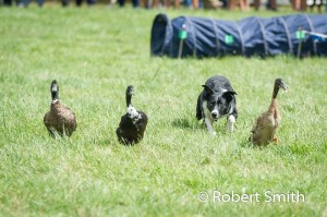 Sheep dogs and ducks-11