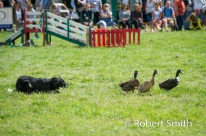 Sheep dogs and ducks-12