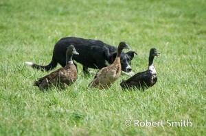 Sheep dogs and ducks-9