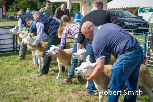 Sheep judging-13