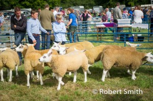 Sheep judging-15