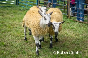 Sheep judging-20