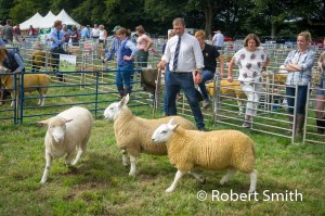 Sheep judging-23